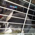 two male rabbits and cage an also hutch