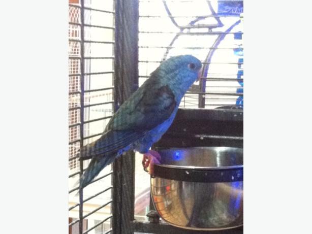 blue hen linnolet parakeet