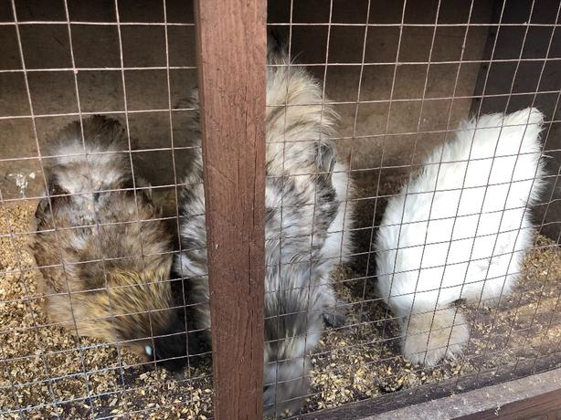 trio of silkies for sale