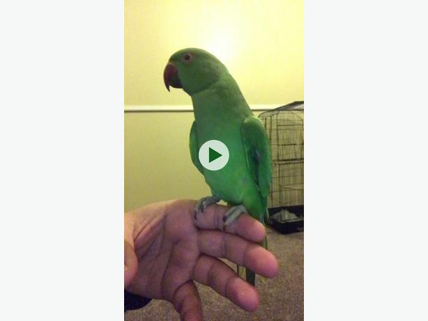 indian ringneck tame parrot