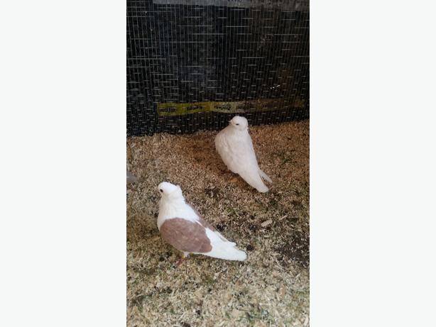 German owl pigeons