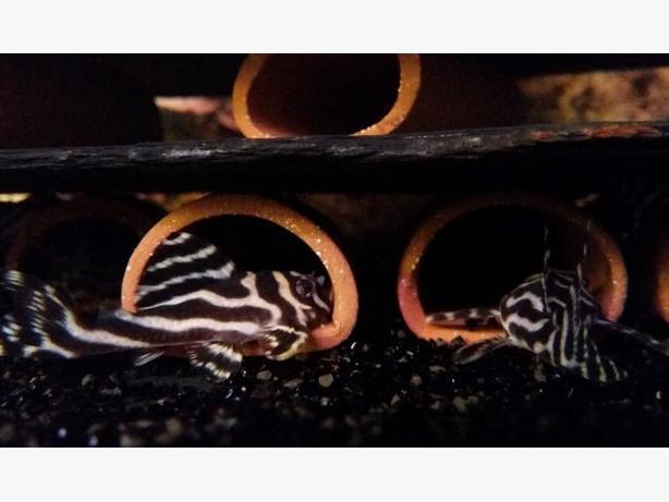 Quality L046 zebra pleco