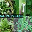 Similar to Morphine: The Best Natural Painkiller that Grows in Your Backyard
