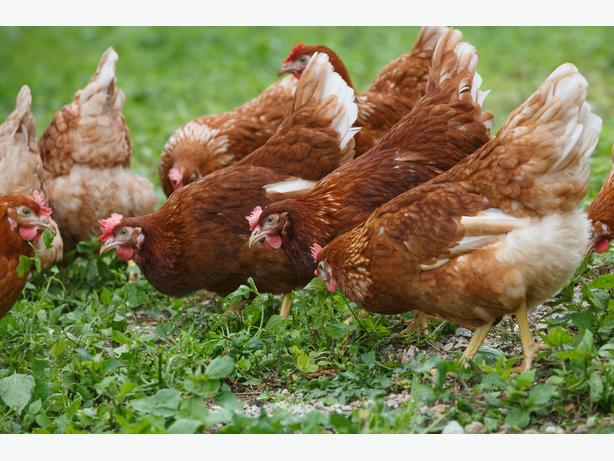 Warren cross Rhode Island Red laying hens,chickens