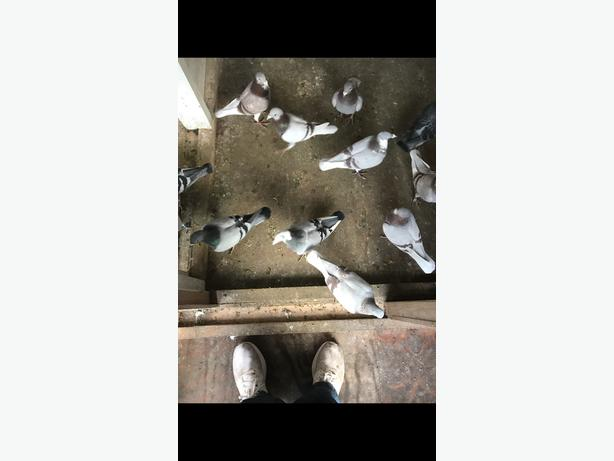 Racing pigeons WOLVERHAMPTON, Dudley