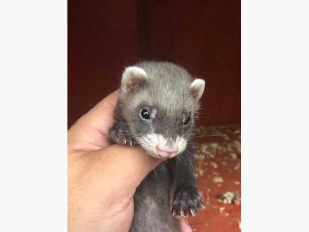 baby male ferrets