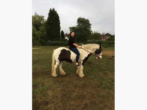 woody the gelding 13.3