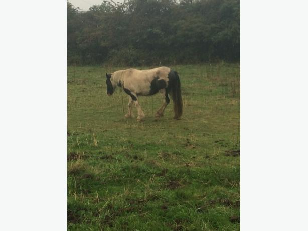 black and white filly 3 year old