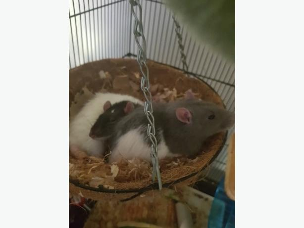 2 x male dunno rats and cage