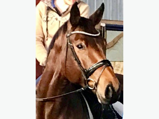 Hanoverian mare is looking for a new loving home