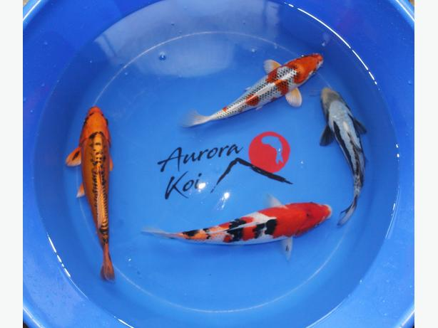 High Quality Japanese Koi from 10cm