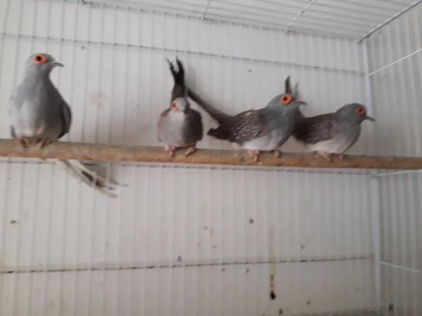 Doves For Sale >> Breeding Pair Of Diamond Doves For Sale Other Dudley