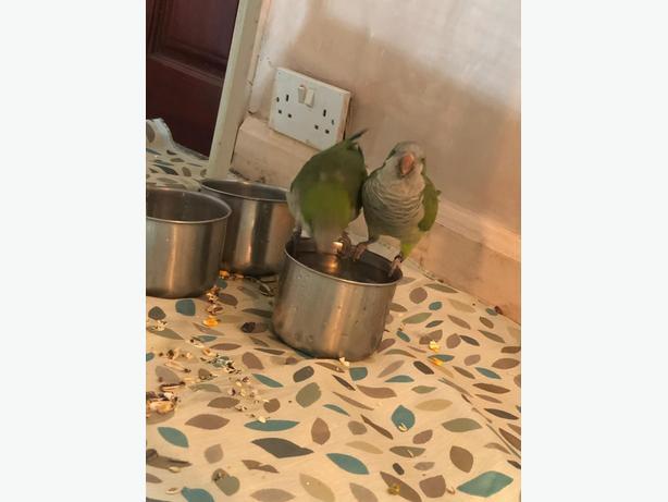 Male female talking parrots