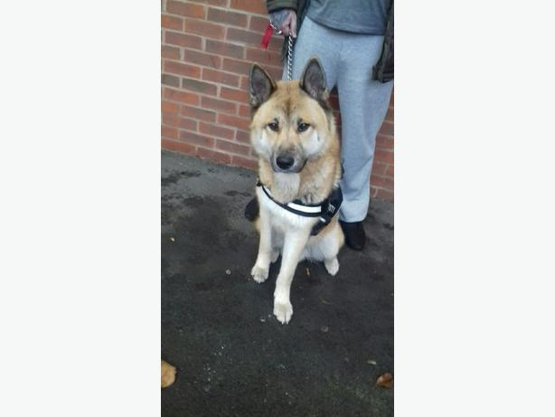 13 months old husky cross malamute male dog