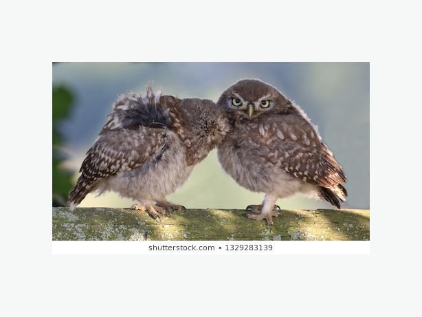 2x 2019 little owls