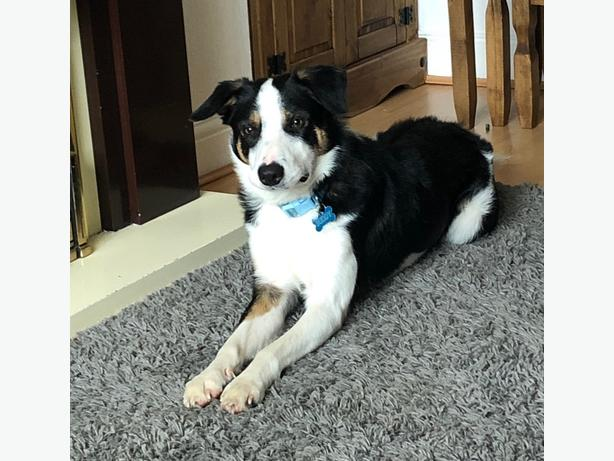 male border collie for rehoming