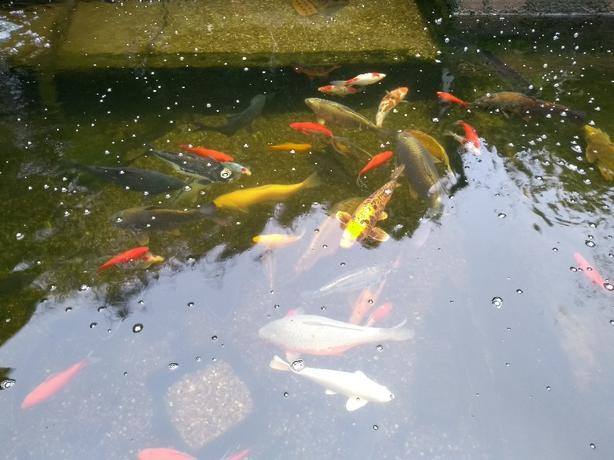 pond sale all fish for sale