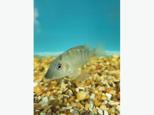 Geophagus Cichlids 2 inch  £8