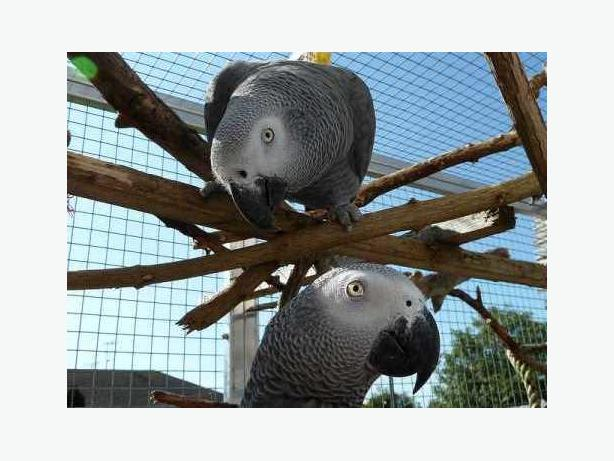 !!@@!African Grey Parrots Available----