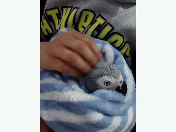 Super Tamed Baby African Grey For Sale