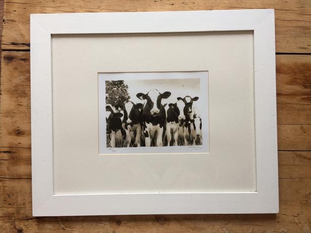Limited Edition Photo black white cows Baynon 481/500