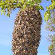 WANTED: Free Bees Swarm Removal
