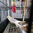 Baby Cockatiels