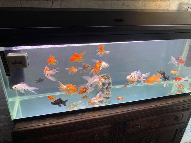 Small To XXL Large Fantail Goldfish For Sale
