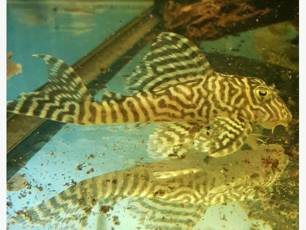 King Tiger Pleco 4 inch £30 FREE LOCAL DELIVERY