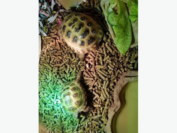 Tortoise & Viv
