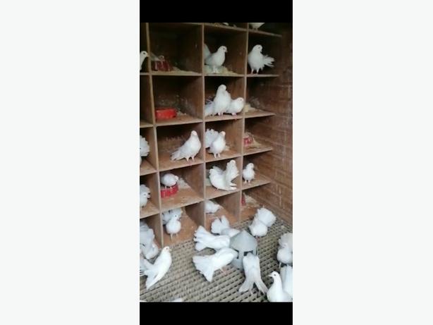 pigeons (white fantails)