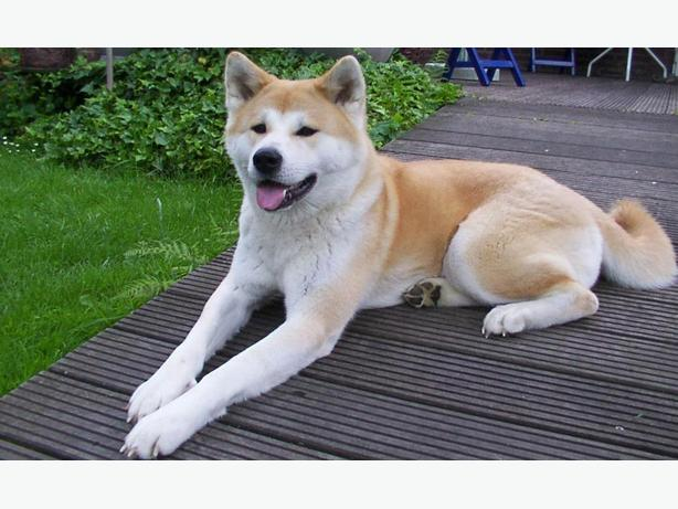 akita dog for sale inu