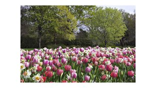 Red, pink, and white tulip field