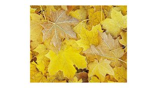 Yellow leaves closeup
