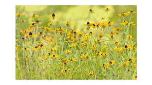 Blackeyed Susan flower field