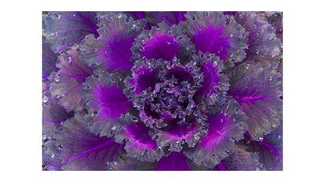 Purple cabbage closeup