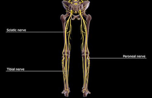 Tibial Nerve 500.jpg