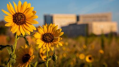 Frisco_sunflower_384.jpg