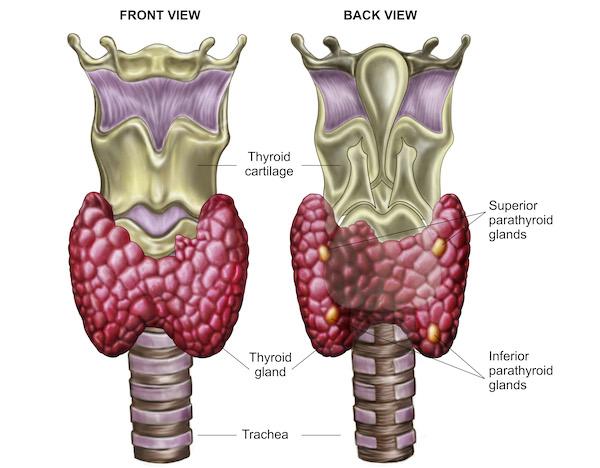 Parathyroid Medlbog 600.jpg