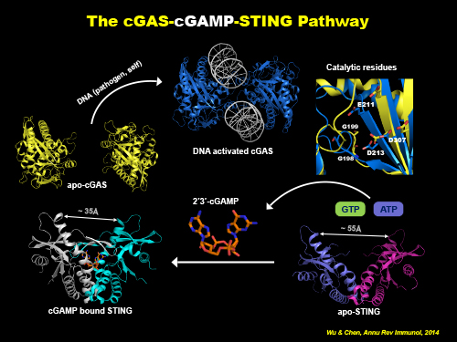 The cGAS cGAMP STING pathway model.