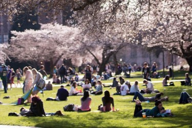 Cherry trees in bloom on the University of Washington campus.