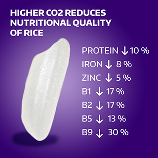 Effects of carbon on rice quality