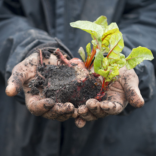 Image of worker handling lettuce plant