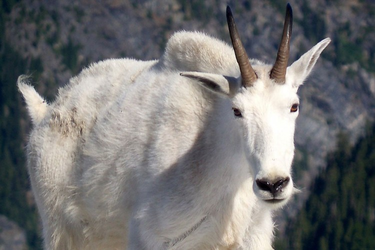 web-Mountain_Goat_North_Cascades_National_Park