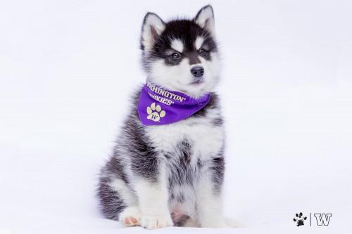 UW mascot, Dubs puppy