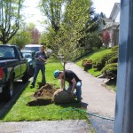 Students plant 7ft birch tree.