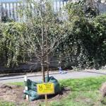 Urban Tree Planting Project 2012