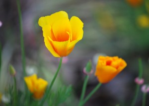 California Poppy - Campus Walker Fall 2012