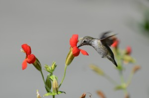 Humming Bird - Campus Walker Fall 2012