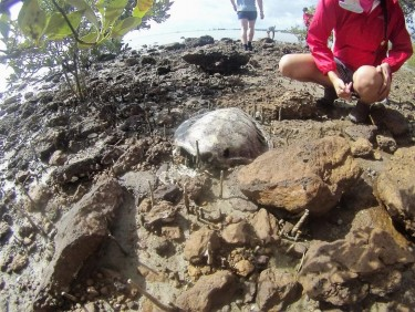 Body of the sea turtle that we found, about 150 meters away from the head.